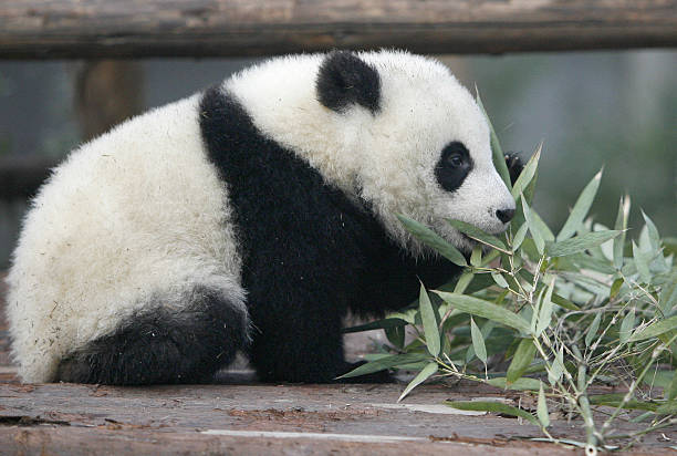 a baby panda eats bamboo at the chengdu research base of giant panda
