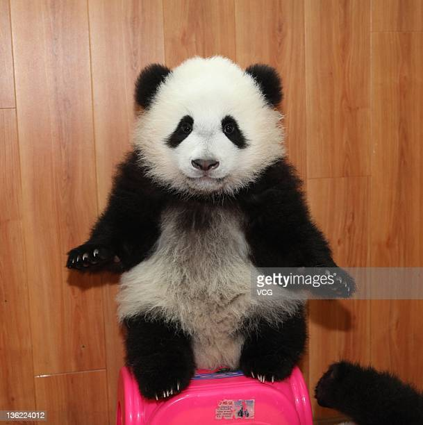 A baby panda enjoys itself in a breeding room at Ya'an Bifengxia Base of China Conservation and Research Centre for the Giant Panda on December 28...