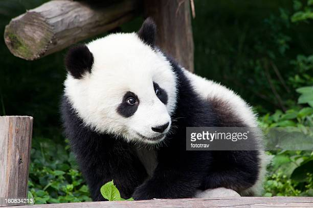Baby Panda of China - Chengdu, Sichuan Province
