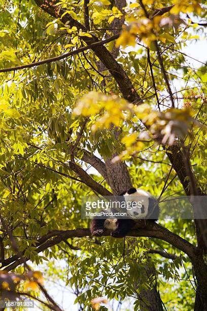 Baby panda resting on a tree