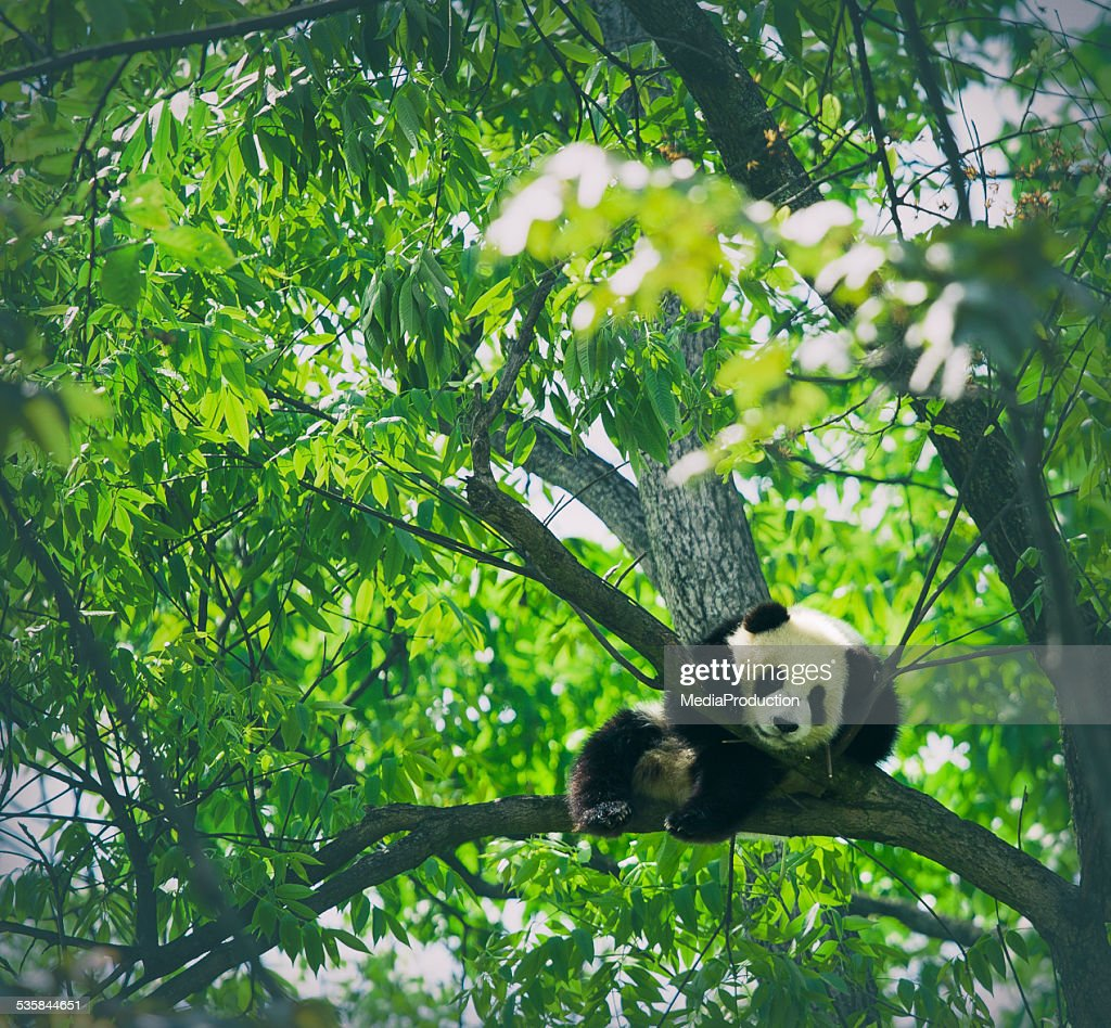 Baby panda resting on a tree : Stock Photo