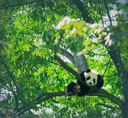 Baby panda resting on a tree 535844651