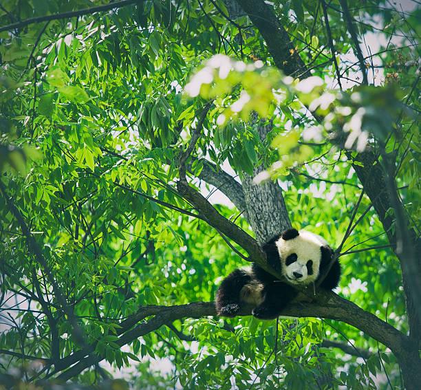 Baby Panda Resting On A Tree Wall Art