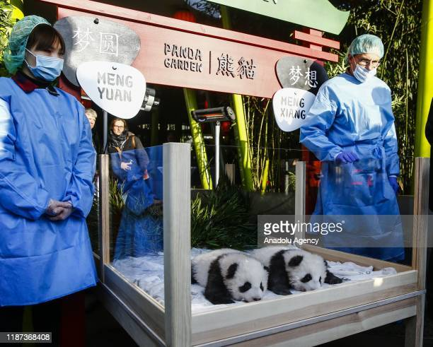 """Baby pandas are seen at Zoologischer Garten in Berlin, Germany on December 9, 2019. Twin panda cubs """"Meng Yuan"""" and """"Meng Xiang"""", who were born at..."""