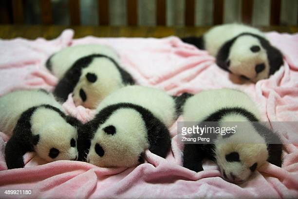 Baby Pandas of three year old sleeping on bed in nursery room Chengdu Research Base of Giant Panda Breeding founded in 1987 is a nonprofit research...