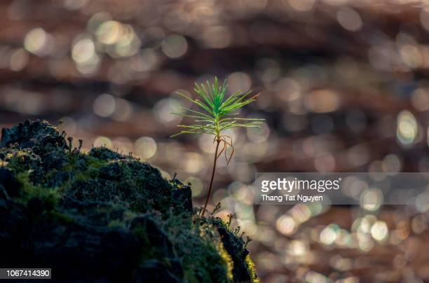 baby pine tree on snag - hawk nest foto e immagini stock