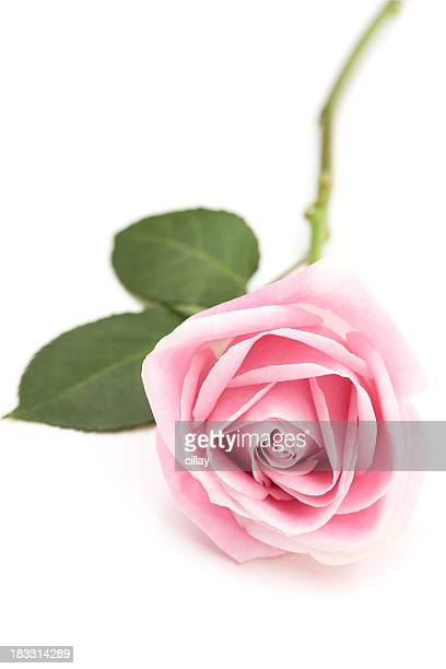 a baby pink long stem rose isolated on white - long stem flowers stock pictures, royalty-free photos & images