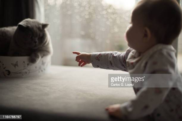 baby points at british shorthair cat on couch near window - british shorthair cat stock pictures, royalty-free photos & images