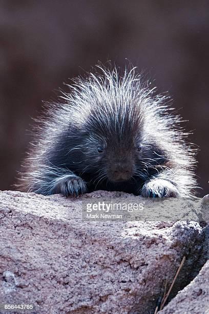 Baby Porcupine closeup