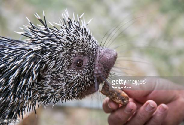 A baby porcupine is viewed at an exotic animal and wildlife rescue center on May 11 2018 in Marshall North Carolina Animal control officers...