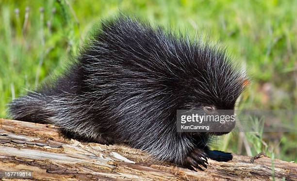 baby porcupine - porcupine stock photos and pictures