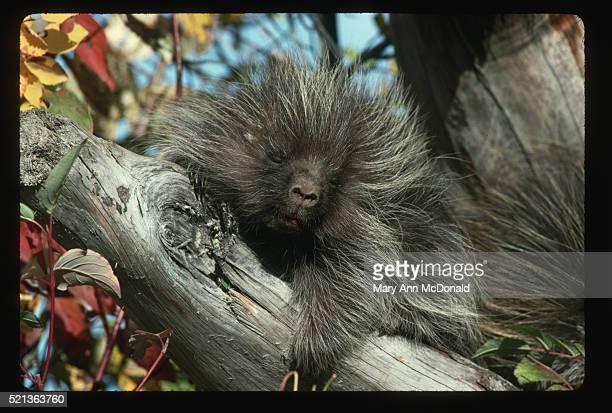 Baby Porcupine Resting in Tree