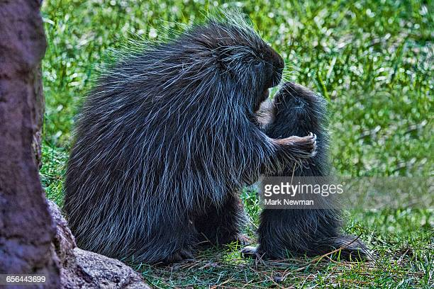 Baby Porcupine with mother