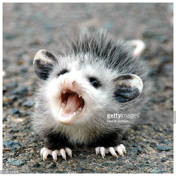 baby possum - possum stock pictures, royalty-free photos & images