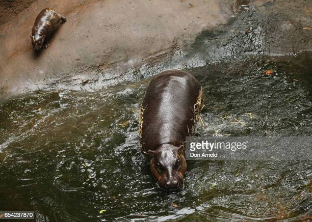 A baby pygmy hippo follows her mother 'Kambiri' into the water at Taronga Zoo on March 17 2017 in Sydney Australia Born on 21 February 2017 the calf...