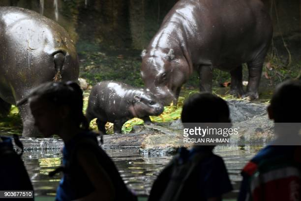 A baby pygmy hippopotamus looks on with its parents inside its enclosure at the Singapore Zoological Garden on January 11 2018 The Wildlife Reserves...