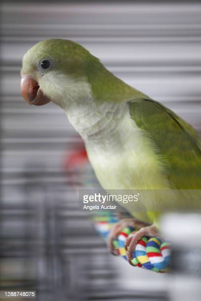baby quaker parrot in his cage - angela auclair stock pictures, royalty-free photos & images