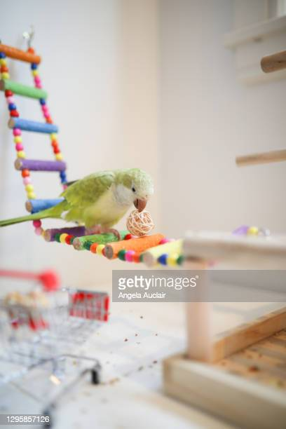 a baby quaker parrot plays happily - angela auclair stock pictures, royalty-free photos & images