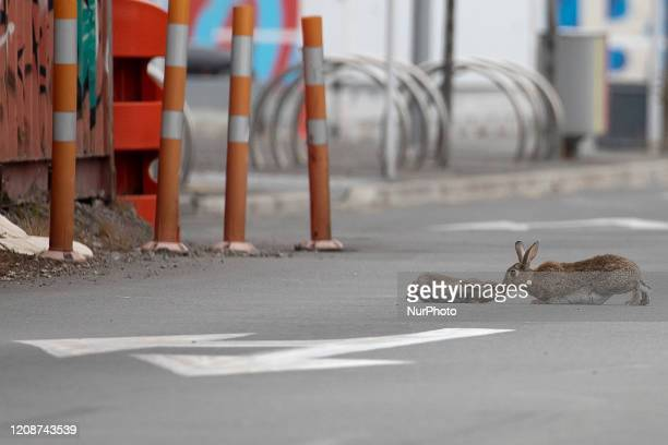 A baby rabbit and its mother leveret sharing an intimate moment middle of a main road which is empty of traffic in Christchurch New Zealand on April...