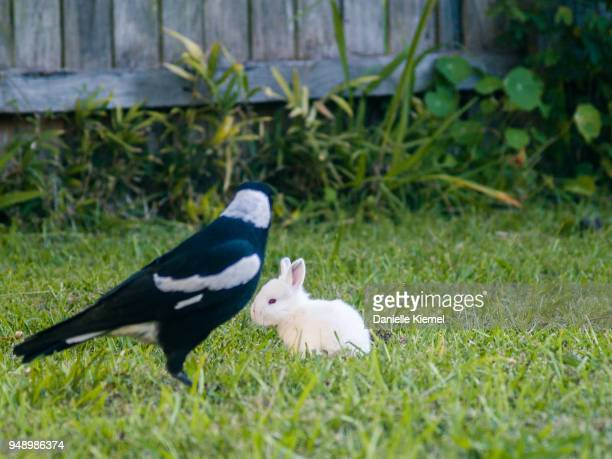 baby rabbit and magpie sitting together - diving to the ground stock pictures, royalty-free photos & images