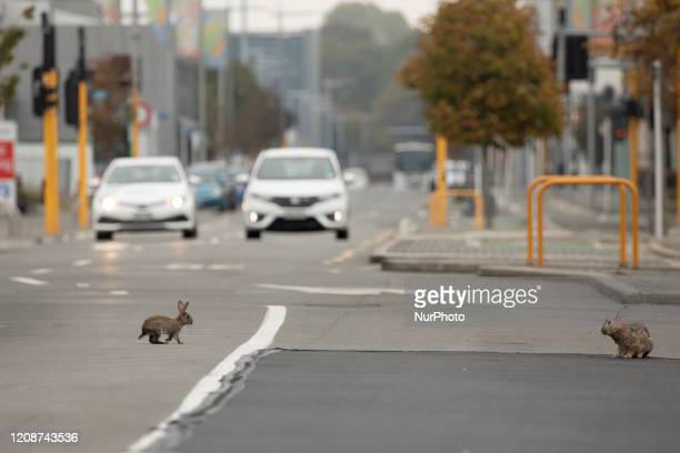 A baby rabbit crosses a main road which is empty of traffic in Christchurch New Zealand on April 01 2020 New Zealand has been lockdown for four...