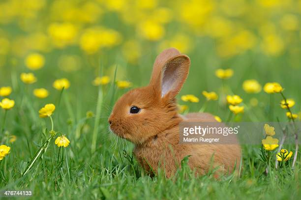 baby rabbit in meadow - rabbit animal stock pictures, royalty-free photos & images