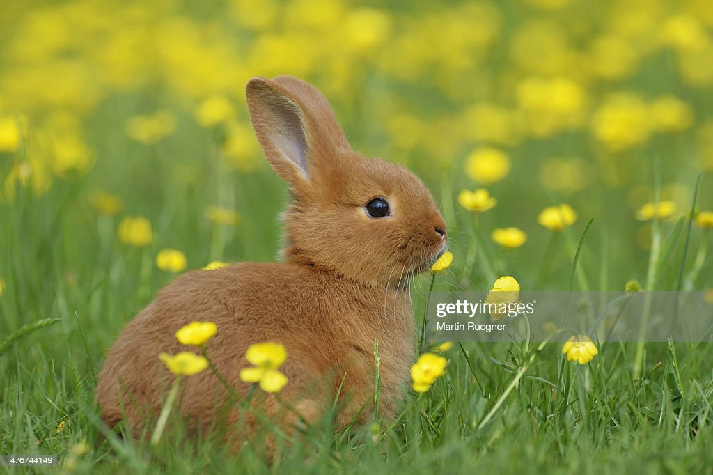 Baby Rabbit In Meadow High Res Stock Photo Getty Images