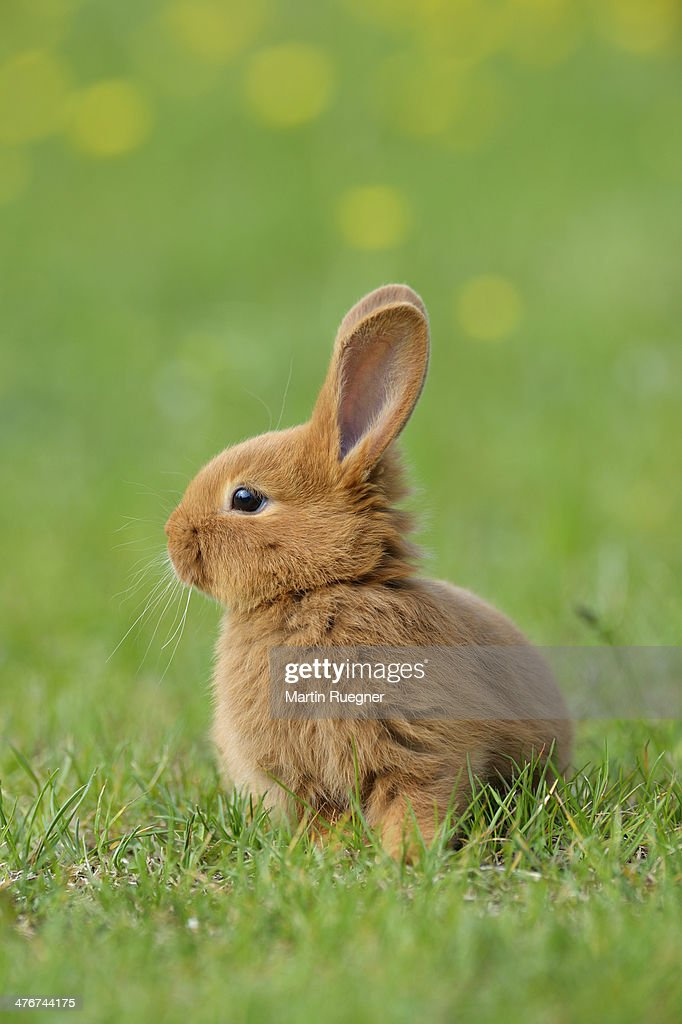 Image of: Newborn Baby Bunny Baby Rabbit In Meadow Getty Images Baby Rabbit Stock Photos And Pictures