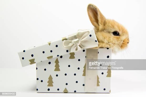 Baby rabbit inside a gift box