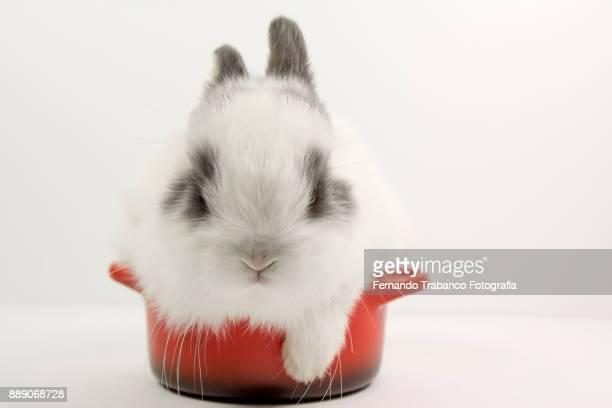 Baby rabbit inside a pan