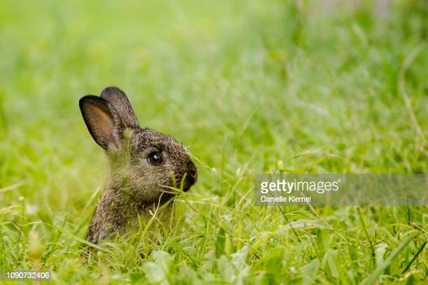baby rabbit sitting on grass - lagomorphs stock pictures, royalty-free photos & images