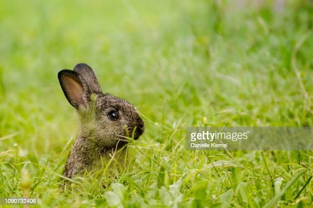 baby rabbit sitting on grass - coniglietto foto e immagini stock