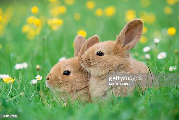 baby rabbits in field - young animal stock pictures, royalty-free photos & images