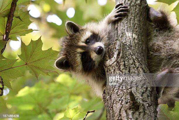 Baby raccoon holding on a tree with green leaves