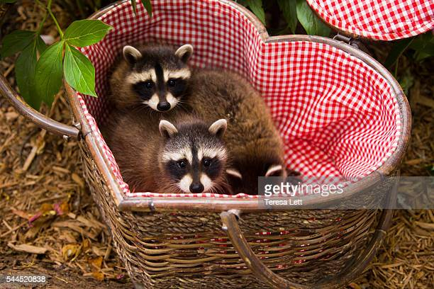 Baby raccoons in a basket