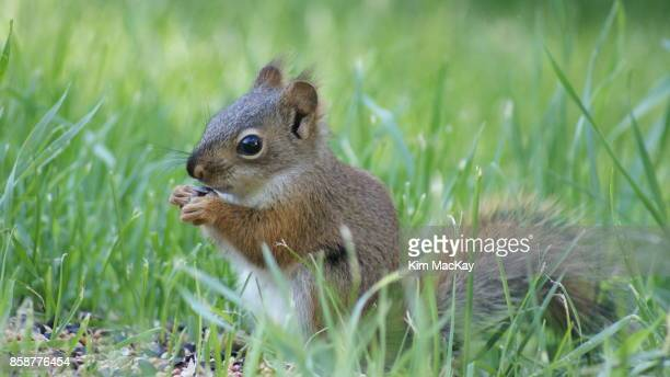 baby red squirrel in the grass, eating seeds - american red squirrel stock photos and pictures