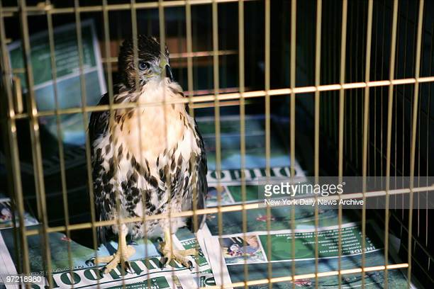A baby redtailed hawk sits in a cage in Urban Park Rangers director Sara Hobel's office on E 105th St after it was rescued from a courtyard by the...