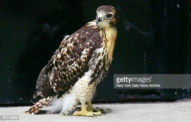 A baby redtailed hawk stands stranded on the ground in the corner of a courtyard by the Ziegfeld Theatre on W 55th St With the overnight storm it's...