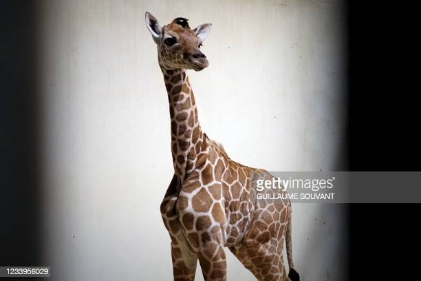 Baby reticulated giraffe 'Melman' looks on inside his enclosure at the Zoo park of Beauval at Saint-Aignan-sur-Cher, western France on July 13, 2021....