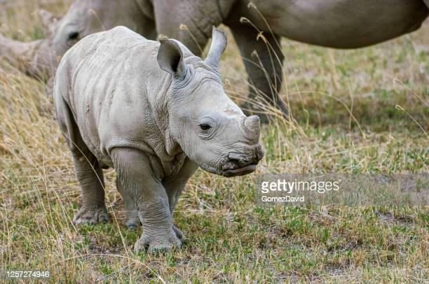 baby rhino and nearby mother - threatened species stock pictures, royalty-free photos & images