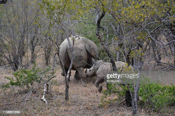 baby rhino south africa - big arse stock pictures, royalty-free photos & images