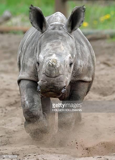 Baby rhinoceros Makena runs through her enclosure on April 30 2013 at the Serengeti Park in Hodenhagen western Germany Makena was born on March 7...