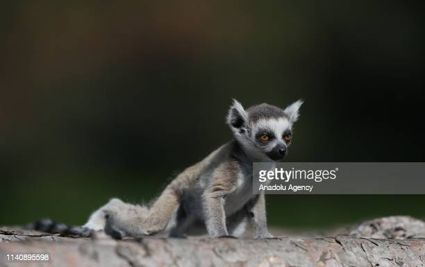 Baby ring-tailed lemur is seen at the Bursa Zoo, in Bursa, Turkey on May 03, 2019.