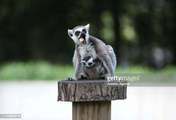 Baby ring-tailed lemur with its mother at the Bursa Zoo, in Bursa, Turkey on May 03, 2019.