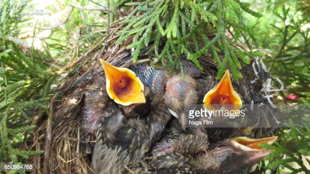 Baby robin birds waiting for food in their nest.