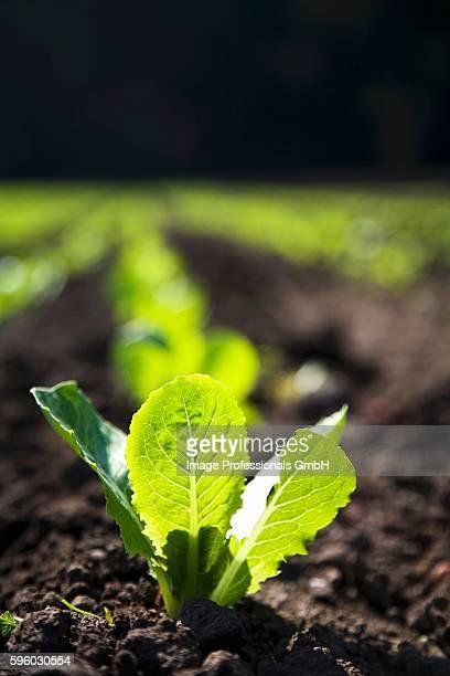 Baby Romaine Lettuce Growing in a Field