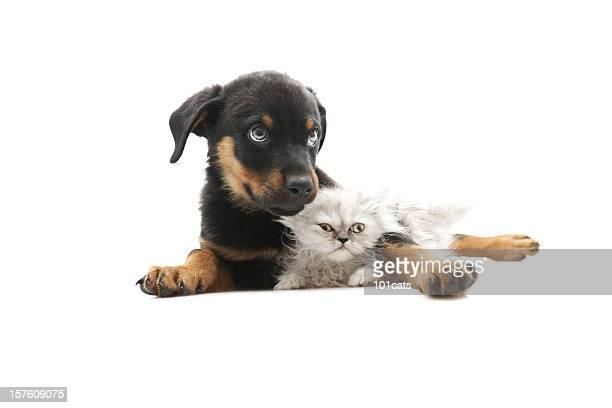 baby rottweiler,and persian cat