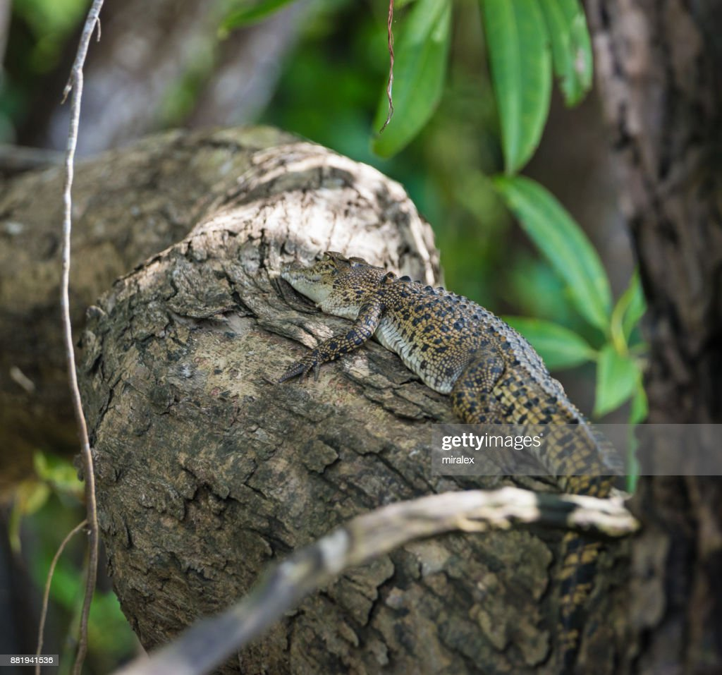 Baby Saltwater Crocodile Resting on Tree : Stock Photo