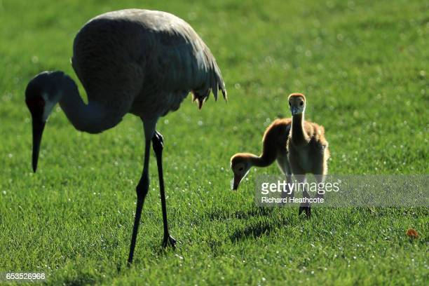 Baby Sandhill Cranes follow their mother during the proam for the Arnold Palmer Invitational Presented By MasterCard at Bay Hill on March 15 2017 in...