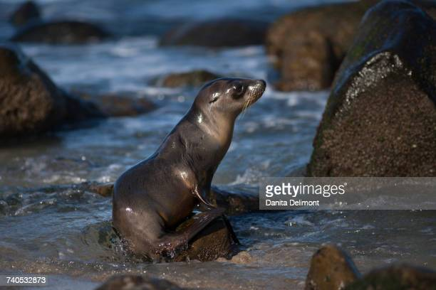 baby sea lion (zalophus californianus) on rocky beach, la jolla, california, usa - seal pup stock photos and pictures